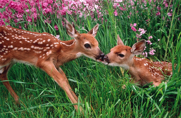 deer-and-fawn-in-spring-meadow