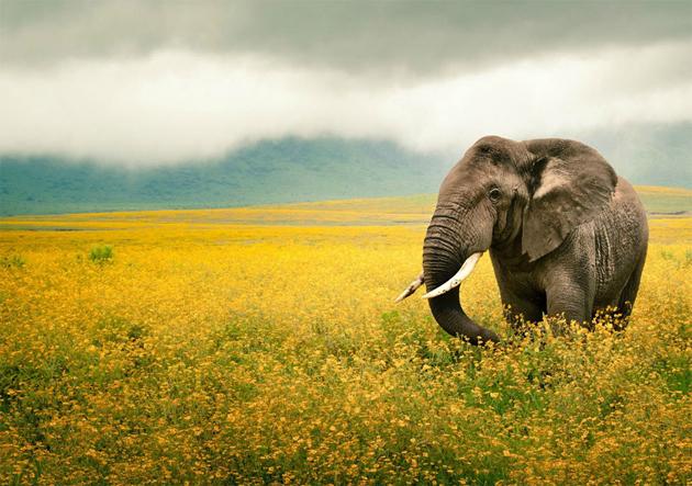 elephant-in-a-yellow-flower-field