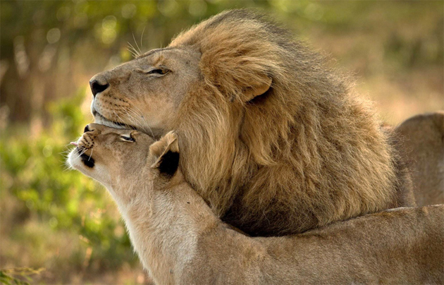 lions-in-love