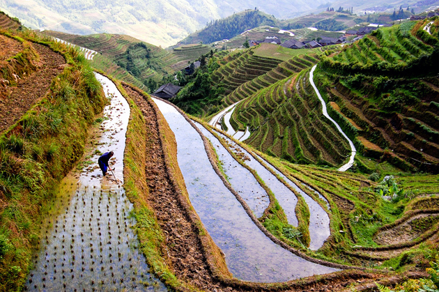 rice-worker-china