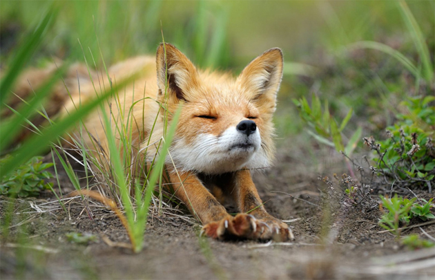 stretching-fox