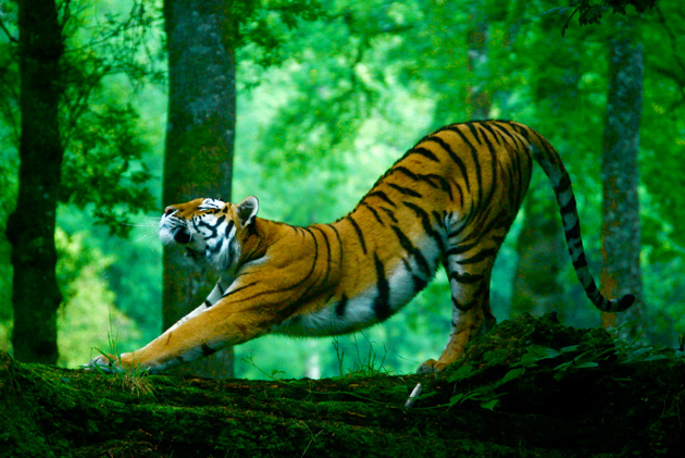 stretching-tiger by kitty wheeler shaw