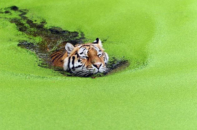 tiger-swimming-through-weeds