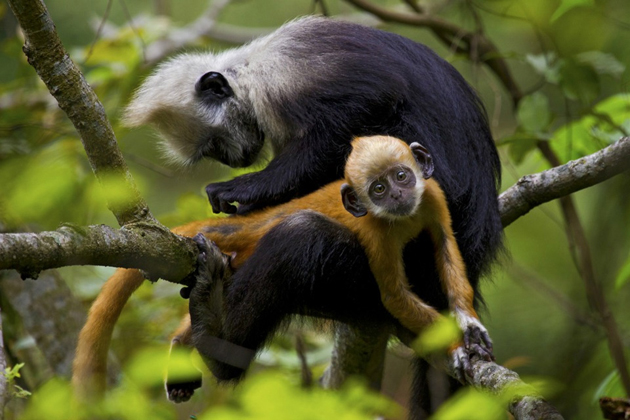 white-headed-langur-grooms-her-baby