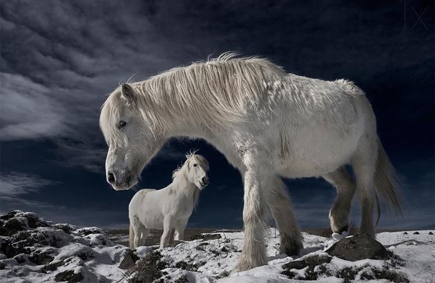 white-wild-horses-iceland