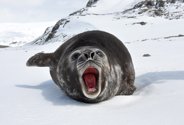 young-southern-elephant-seal
