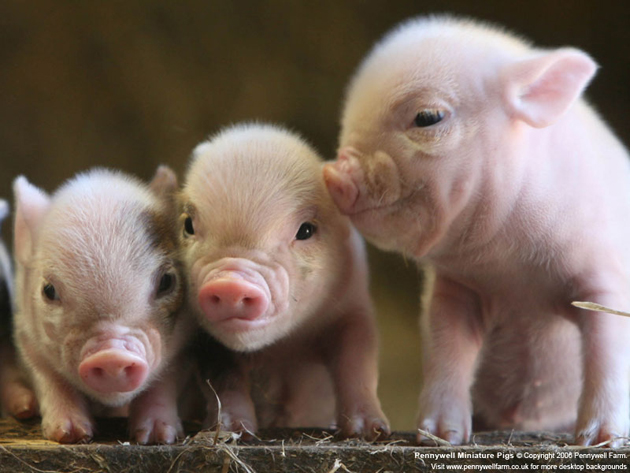 35 Cute Miniature Pig Pictures (1)