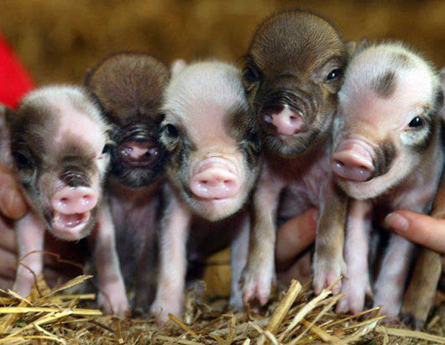 35 Cute Miniature Pig Pictures (11)
