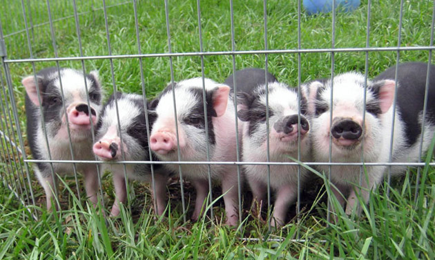 35 Cute Miniature Pig Pictures (13)