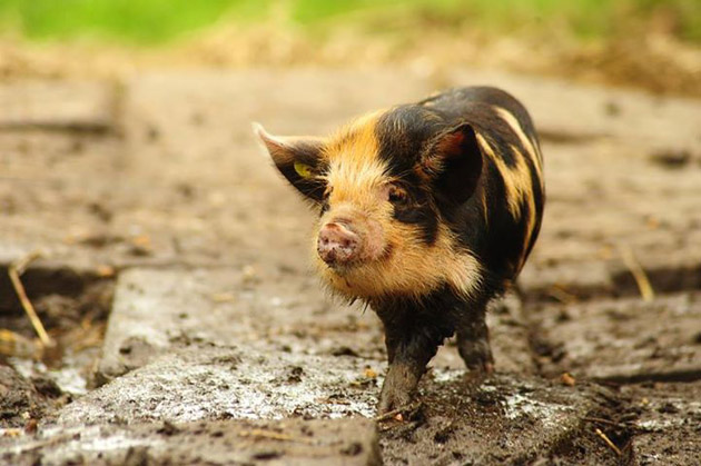 35 Cute Miniature Pig Pictures (14)