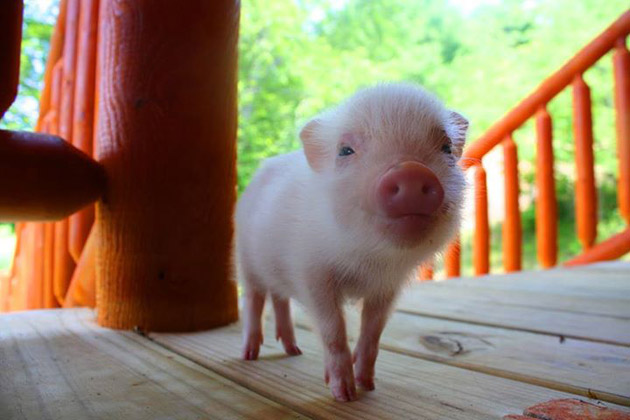 35 Cute Miniature Pig Pictures (15)
