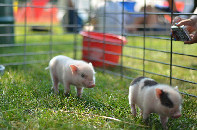 35 Cute Miniature Pig Pictures (16)