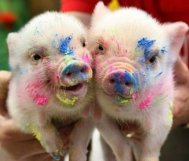 35 Cute Miniature Pig Pictures (17)