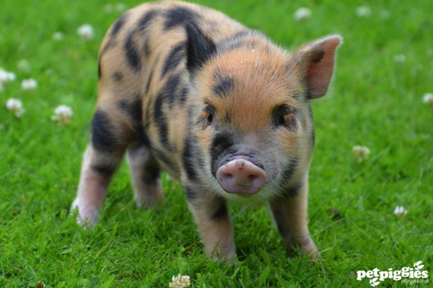 35 Cute Miniature Pig Pictures (2)