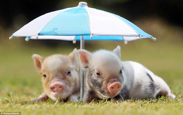35 Cute Miniature Pig Pictures (20)