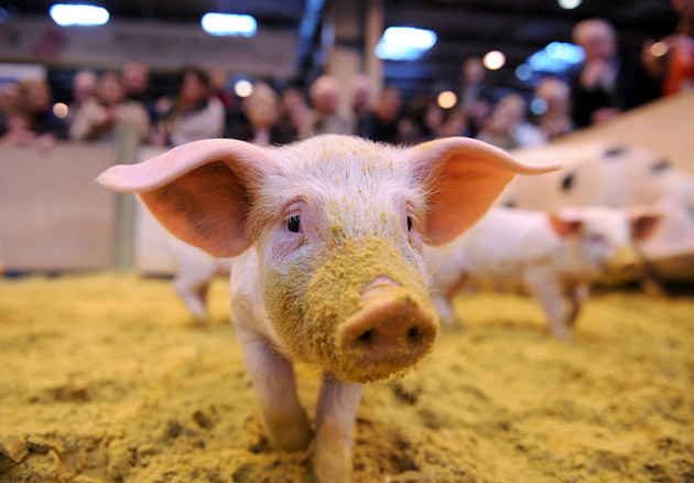 35 Cute Miniature Pig Pictures (22)