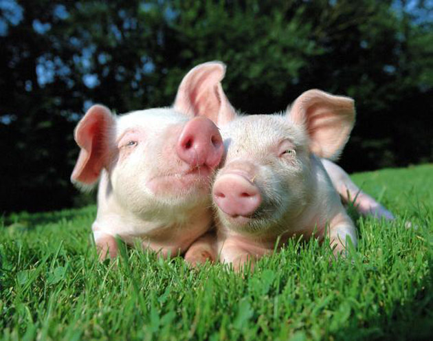 35 Cute Miniature Pig Pictures (23)