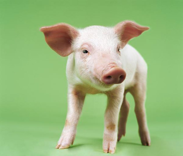 35 Cute Miniature Pig Pictures (25)