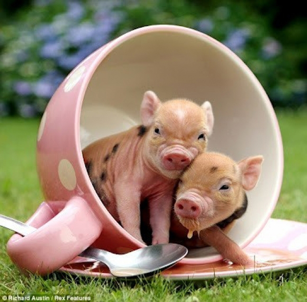 Cute baby teacup pigs - What do miniature pigs eat ...