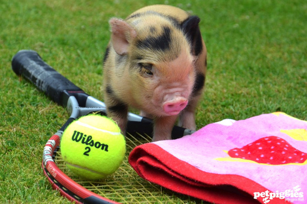 35 Cute Miniature Pig Pictures (29)