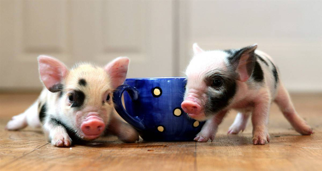 35 Cute Miniature Pig Pictures (3)