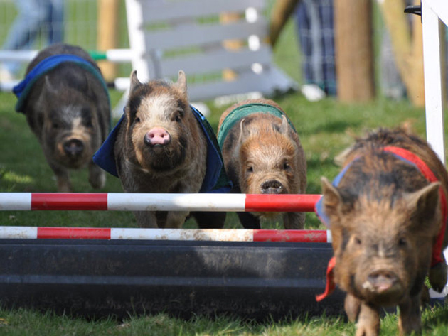 35 Cute Miniature Pig Pictures (30)