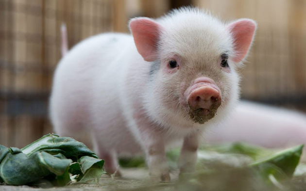 35 Cute Miniature Pig Pictures (31)