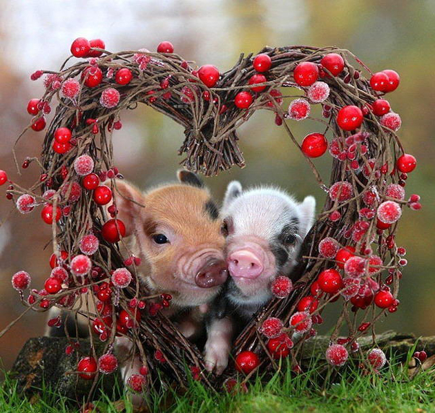 24 reasons why miniature pigs are the cutest animals in the world 10 they dont mind showing off their love for each other to the world voltagebd Gallery