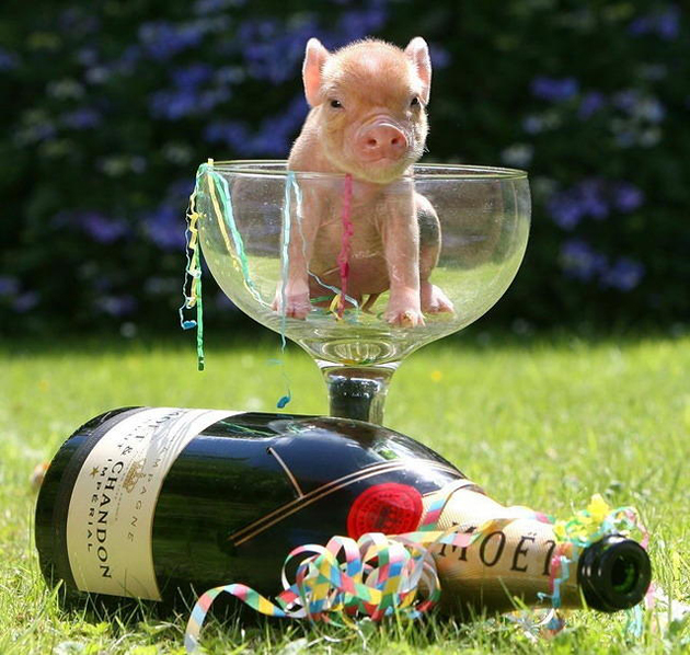 35 Cute Miniature Pig Pictures (5)
