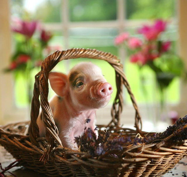 35 Cute Miniature Pig Pictures (6)