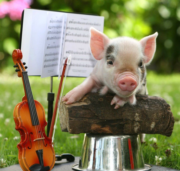 35 Cute Miniature Pig Pictures (7)