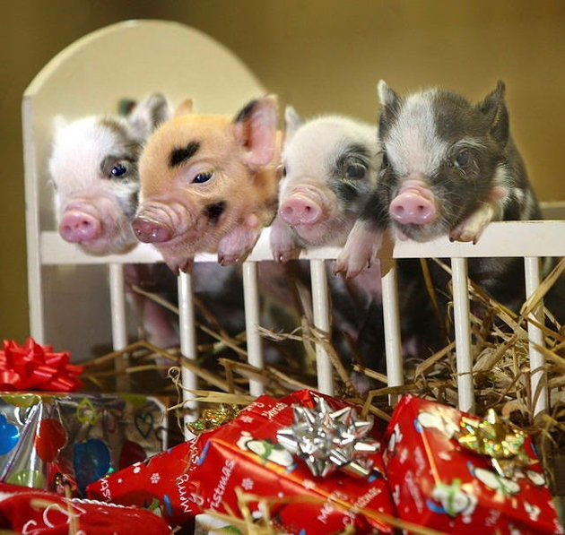 35 Cute Miniature Pig Pictures (8)