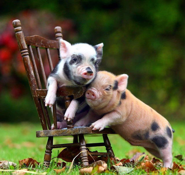 35 Cute Miniature Pig Pictures (9)