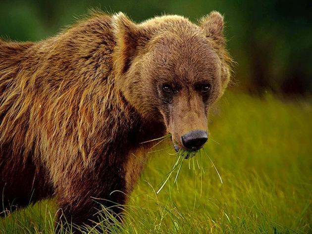 AlaskanBrownBear