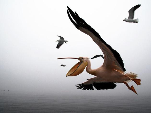PelicanNamibia