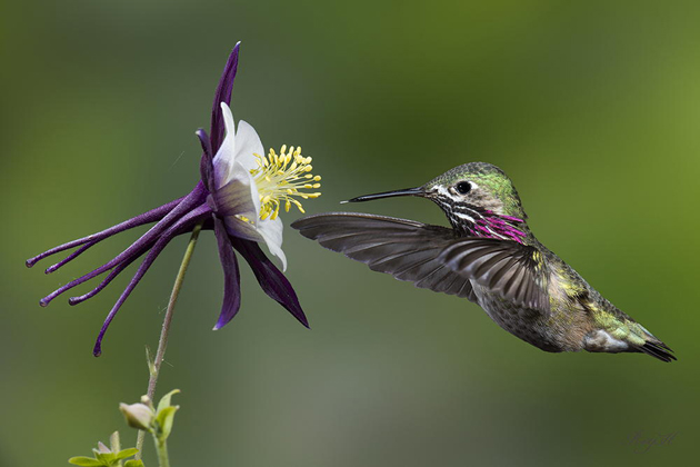 COLUMBINE NECTAR  by ROY HANCLIFF