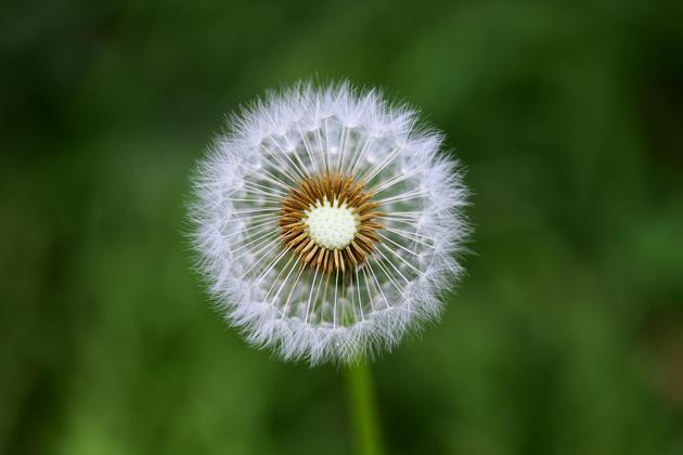 Dandelion seeds by alf M
