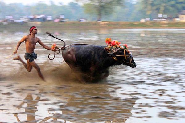 Kambala, Buffalo Race, Mangalore, India.
