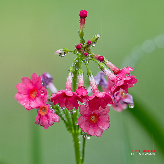 Primula japonica  by LEE INHWAN
