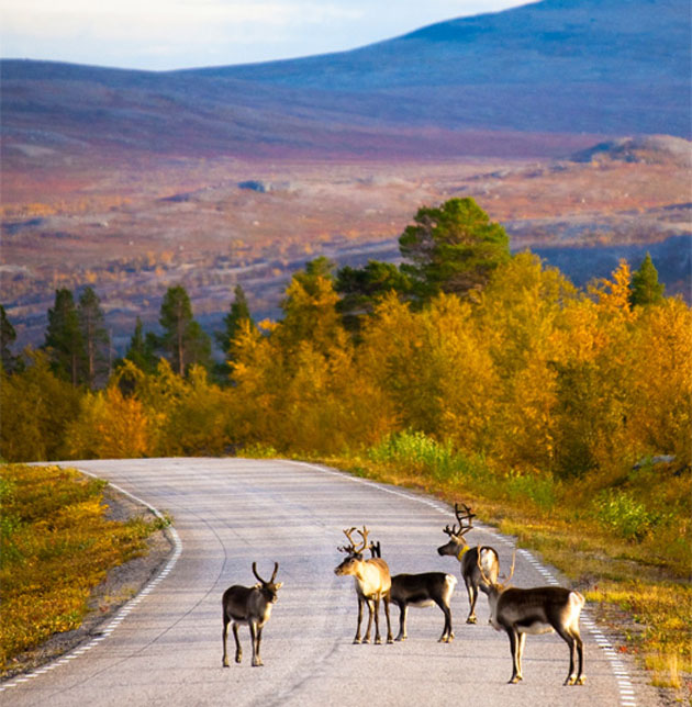 reindeer_on_the_road_again_in_lapland