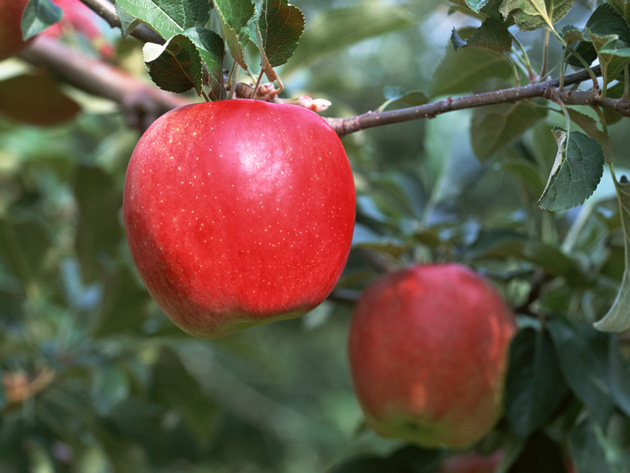 Beautiful Apple Photography (14)