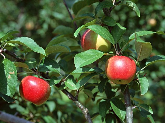 Beautiful Apple Photography (15)