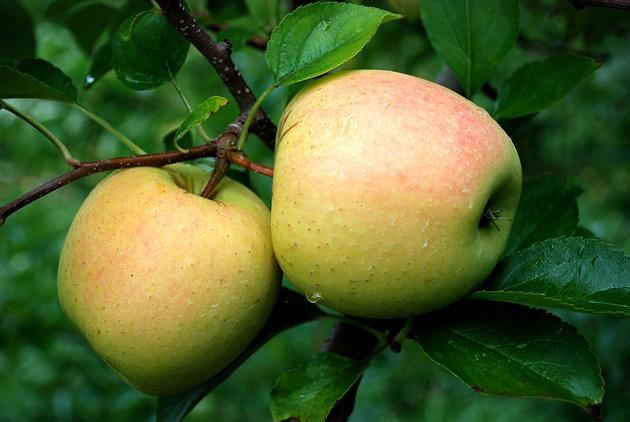 Beautiful Apple Photography (17)