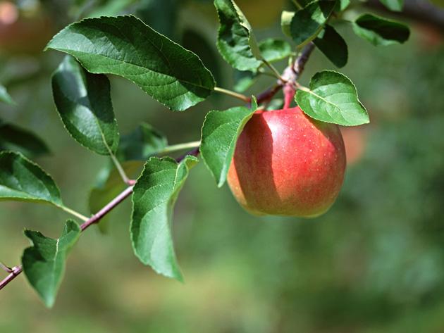 Beautiful Apple Photography (4)