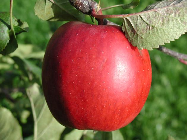Beautiful Apple Photography (9)