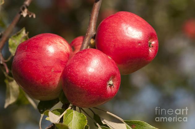 Beautiful Apple Photography