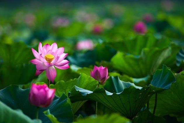 Lotus by Hai Thinh