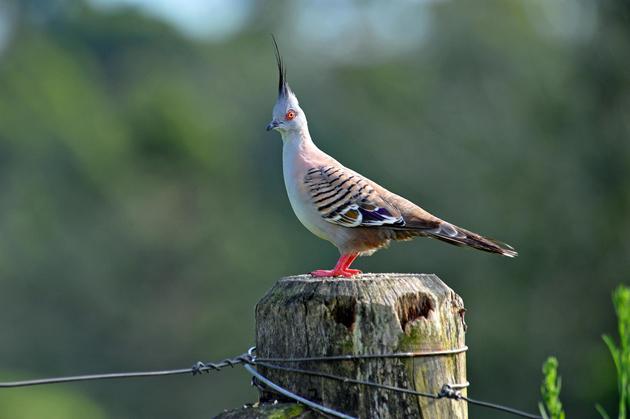 Crested Pigeon. Cedar Creek, Queensland, Australia by Ralph de Zilva