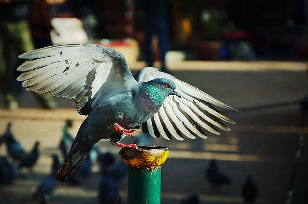 Dancing Pigeon by Samir Pradhananga
