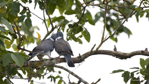 Love Pigeons by Charles Pubert